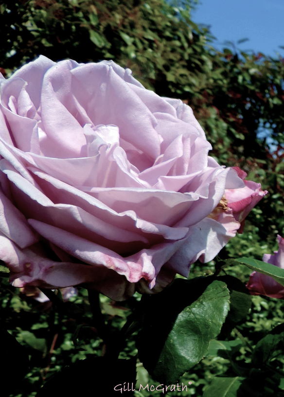 2014 06 13 the scented  queen jpg sig (2)